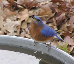 bluebird drinking