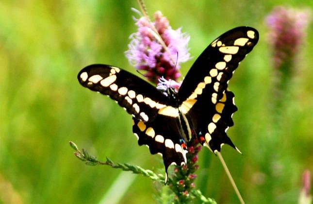 lep_giant_swallowtail927